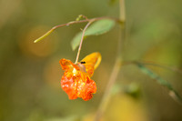 Oranje Springzaad - Orange Balsam - Impatiens capensis