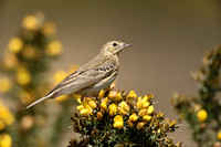 Boompieper; Tree pipit; Anthus trivalis