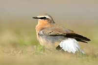 Tapuit - Nothern Wheatear - Oenanthe oenanthe