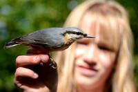 Boomklever; Nuthatch; Sitta europaea;