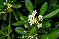 Australische laurier - Japanese Pittosporum - Pittosporum tobira