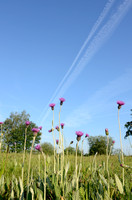 Spaanse ruiter; Meadow Thistle; Cirsium dissectie