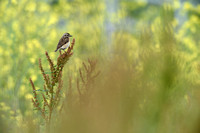 Paapje; Whinchat; Saxicola rubetra