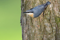 Boomklever - Nuthatch - Sitta europaea