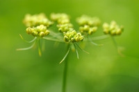Hondspeterselie - Fool's parsley - Aethusa cynapium