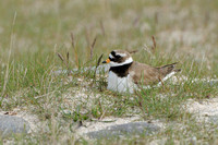 Bontbekplevier; Ringed Plover; Charadrius hiaticula
