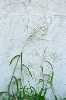 Tropical Finger Grass - Digitaria ciliaris