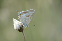 Tijgerblauwtje; Long-tailed blue; Lampides boeticus;