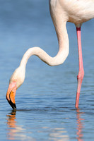 Flamingo; Greater Flamingo; Phoenicopterus ruber