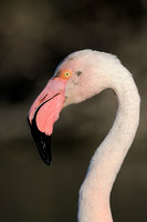 Greater Flamingo; Europese Flamingo; Flamant Rose; Phoenicopterus roseus