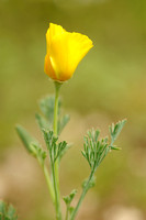 Slaapmutsje - California Poppy - Eschscholzia californica