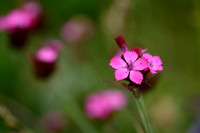 Karthuizer anjer; Clusterhead pink; Dianthus carthusianorum