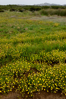 Goudknopje - Golden buttons - Cotula coronopifolia