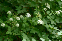 Zevenblad - Ground Elder - Aegopodium podagraria