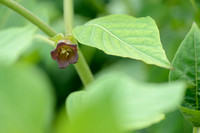 Wolfskers; Deadly nightshade; Atropa bella-donna
