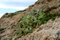 Common Pricklypear -  Opuntia monocantha