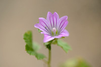 Smaller tree-mallow - Lavatera cretica