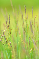 Zwarte zegge; Common sedge; Carex nigra