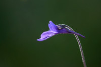 Southern Butterwort; Pinguicula leptoceras