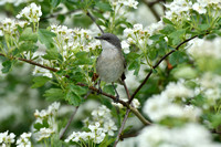 Braamsluiper; Lesser Whitethroat; Sylvia curruca