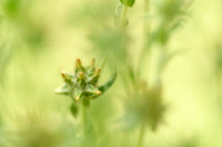 Geel viltkruid; Red-tipped Cudweed; Filago lutescens;