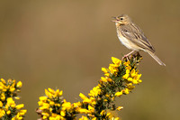 Boompieper; Tree Pipit; Anthus trivialis