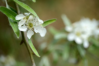 Wilgbladige Peer - Willow-leaved Pear - Pyrus slicifolia