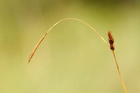 Zilte Zegge; Distant Sedge; Carex distans;
