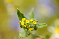 Kleinbloemige Amsinckia; Amsinckia; Small-flowered fiddleneck; A