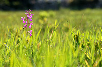 Ijle moerasorchis; Loose-Flowered Orchid; Anacamptis laxiflora