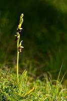 Vliegenorchis;Fly orchid; Ophrys insectifera