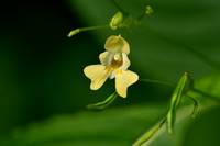 Klein springzaad; Small Balsam; Impatiens parviflora
