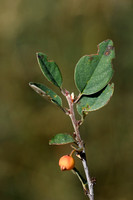 Cotoneaster raboutensis