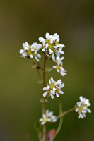 Engels lepelblad - English scurvygrass - Cochlearia officinalis ss