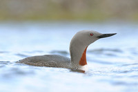 Roodkeelduiker; Red-throated Diver; Gavia stellata