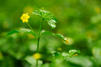 Boswederik - Yellow Pimpernel - Lysimachia nemorum