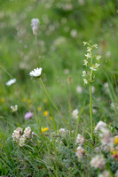 Bergnachtorchis; Greater Butterfly-orchid; Platanthera montana;