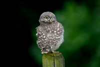 Steenuil; Little Owl; Athene noctua