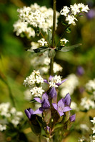 Noords Walstro; Northern Bedstraw; Galium boreale;
