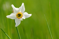 Dichtersnarcis - Witte Narcis - Poet's Daffodil - Narcissus poeticus