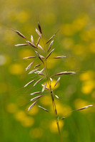 Zachte Haver - Downy Oat-grass - Helictotrichon pubescens