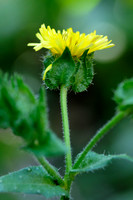 Dubbelkelk; Bristly oxtongue; Picris echioides