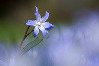 Scilla sardensis; Lesser Glory-of-the-snow; Klein Sneeuwroem