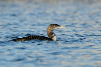 IJsduiker; Great Northern Diver; Gavia immer