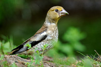 Appelvink; Hawfinch; Coccothraustes coccothraustes;