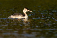 Fuut; Great Crested Grebe; Podiceps cristatus