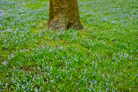 Oosterse Sterhyacint; Siberian Squill; Scilla siberica;