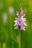 Gevlekte Orchis; Heath Spotted-orchid; Dactylorhiza maculata sub