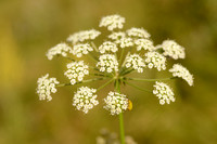 Bergvarkenskervel - Mountain-parsley - Oreoselinum nigrum