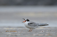 Visdief; Common Tern; Sterna hirundo